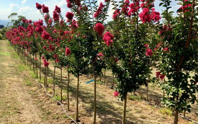 Advantages of growing mature trees in ground