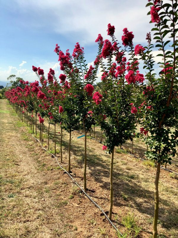 Crepe Myrtle in ground