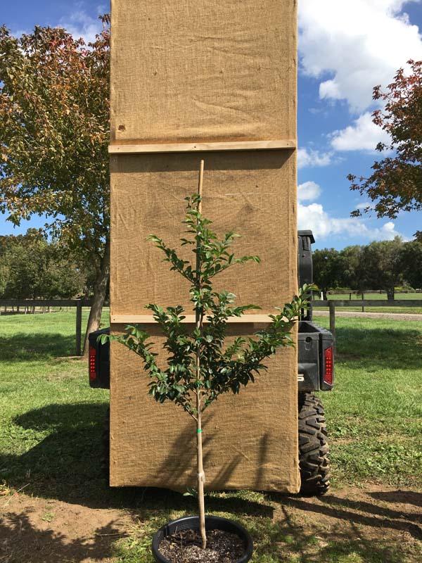 Chinese Elm - Ulmus parvifolia Todd Pot 400mm
