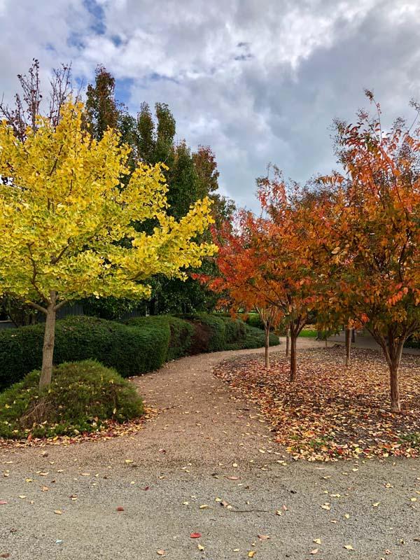 Ginkgo biloba Autumn Garden