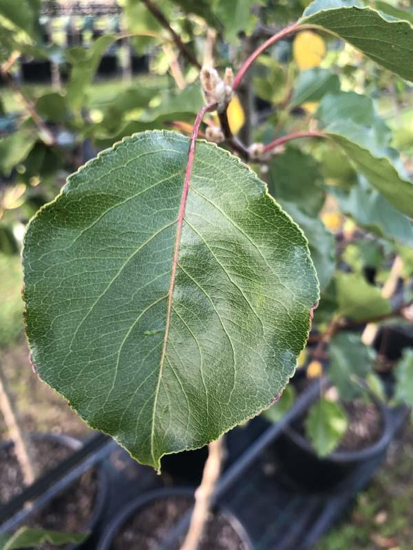 Pear Manchurian - Pyrus ussuriensis - Leaf