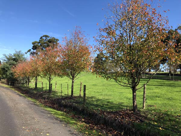Pear - Pyrus calleryana Aristocrat - Mature Driveway