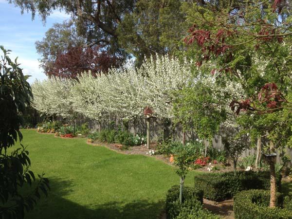 Snow Pear - Pyrus Nivalis - in Garden
