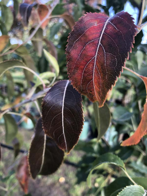 Snow Pear - Pyrus nivalis - Autumn Leaf