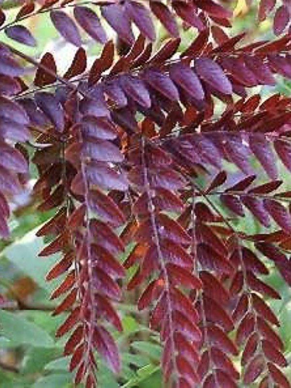 Gleditsia - Ruby Lace leaf