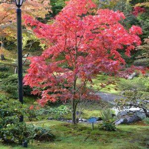 Acer palmatum Osakazuki Mature