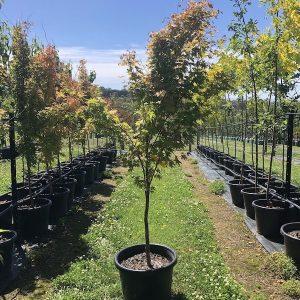Acer palmatum Senkaki Coral Bark Maple - Pot