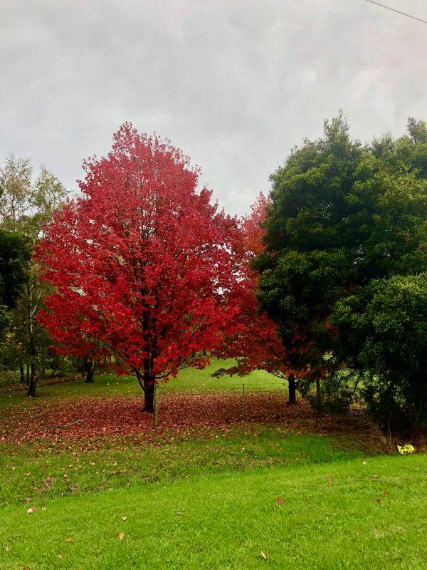 Acer rugrum autumn red october glory - Mature