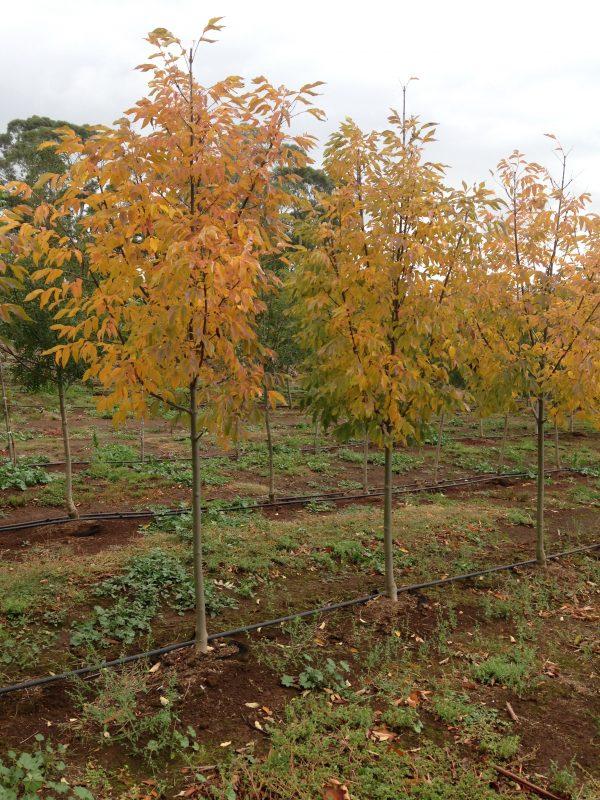 Ash Cimmaron - Fraxinus pennsylvanica Cimmzam- RCB Autumn
