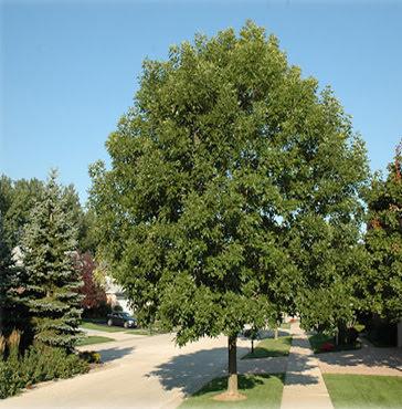 Ash Cimmaron - Fraxinus pennsylvanica mature summer