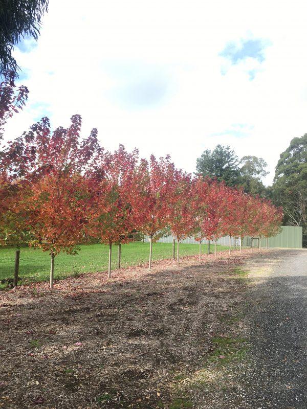 Autumn Blaze Maple - Acer freemanii - In garden autumn