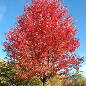 Autumn Blaze Maple - Acer freemanii - Mature Autumn