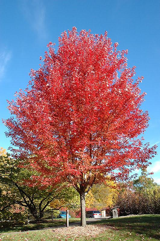 Autumn Blaze Maple - Acer freemanii - Mature Autumn