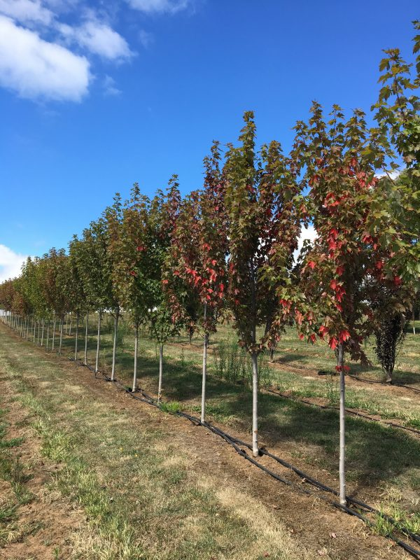 Autumn Blaze Maple - Acer freemanii - RCB Row 3