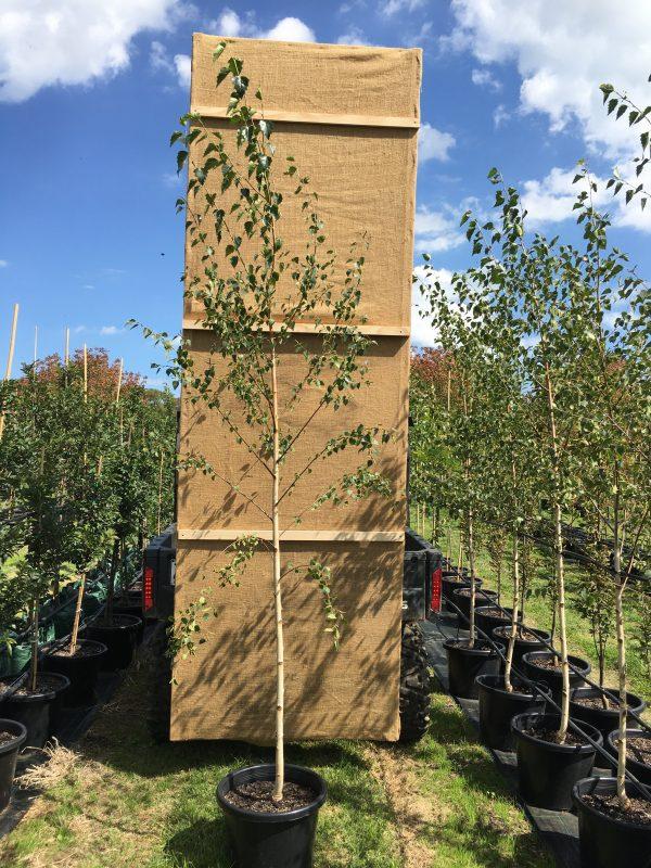 Birch Moss White - Pot 2