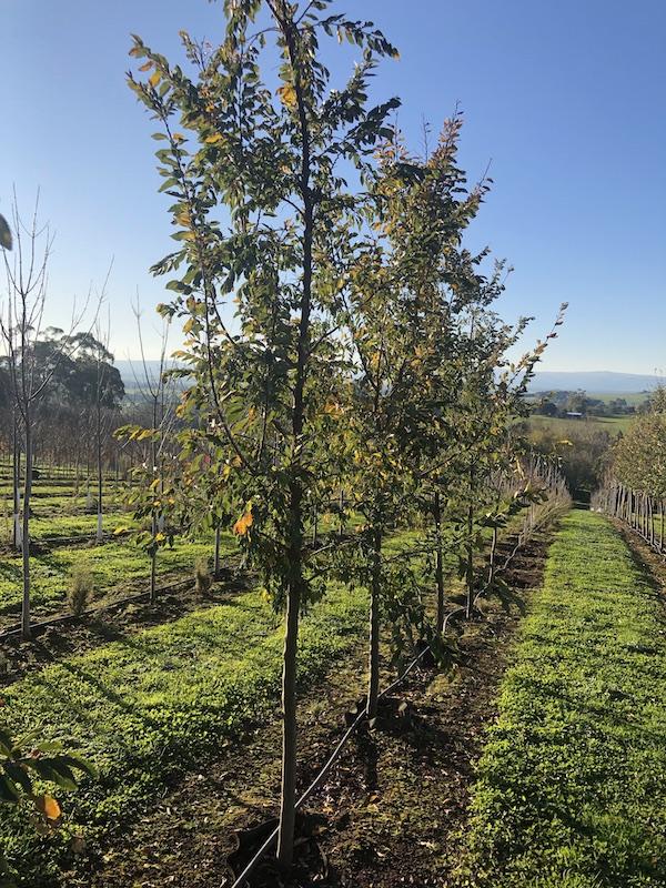 Chinese Elm 'Inspire' Ulmus parvifolia - RCB Row