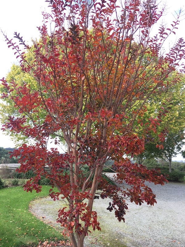 Crepe Myrtle Pink - Lagerstroemia Sioux - Autumn Leaf