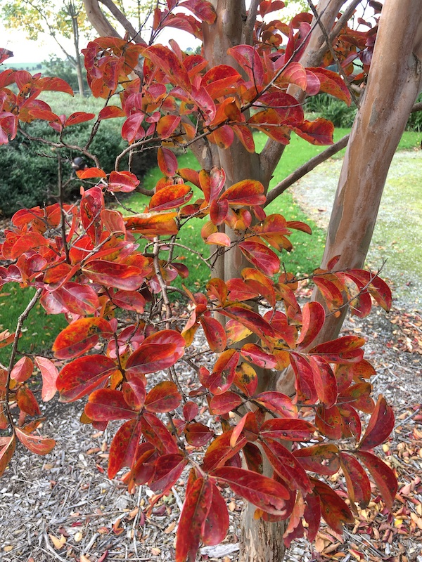 Crepe Myrtle Pink - Lagerstroemia Sioux - Autumn Leave