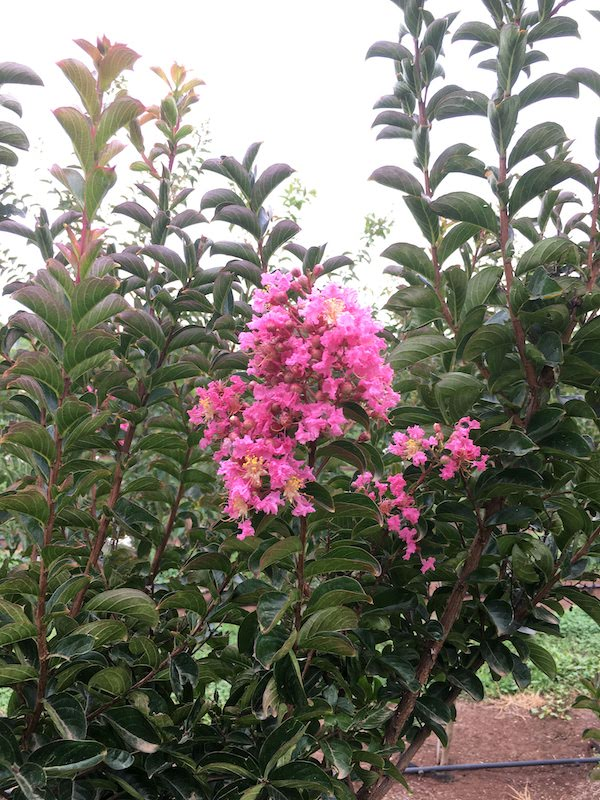 Crepe Myrtle Pink - Lagerstroemia Sioux - Flower