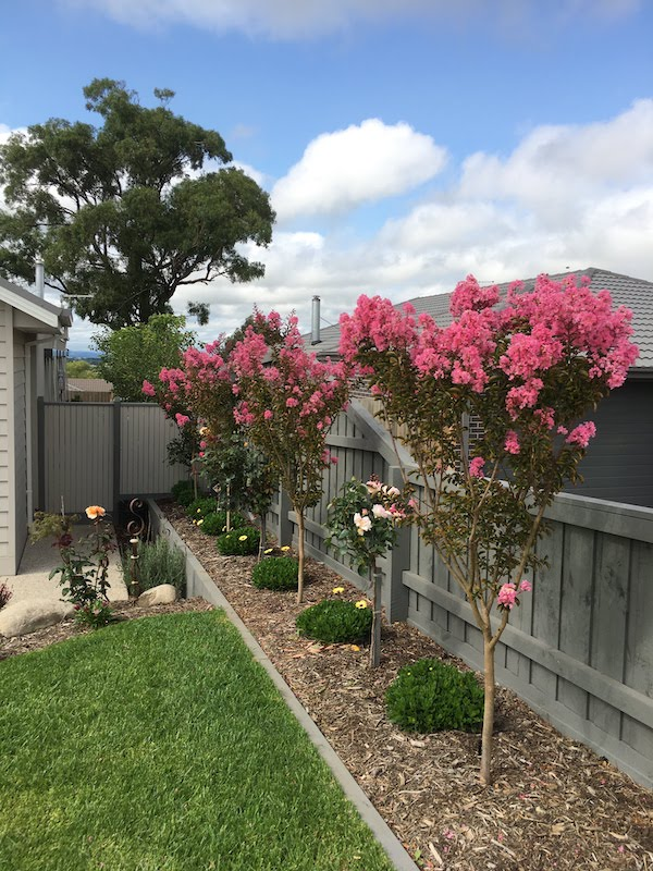 Crepe Myrtle Pink - Lagerstroemia Sioux - In garden