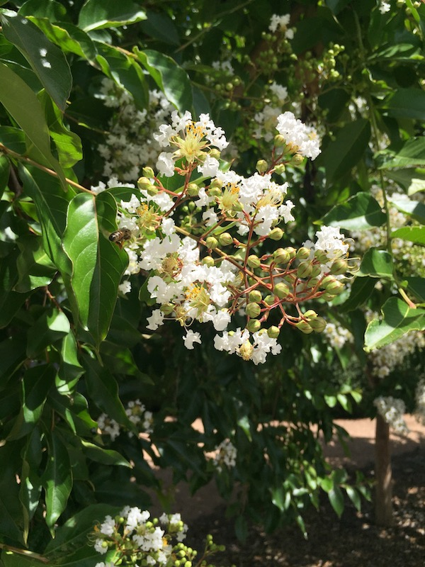 Crepe Myrtle White - Lagerstroemia Natchez- Flower