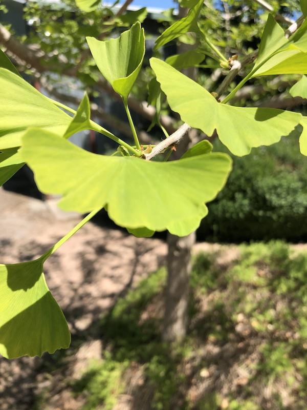 Ginkgo biloba - Leaf