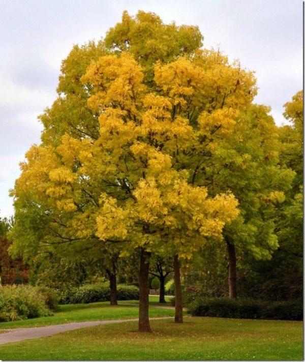 Golden Ash - Fraxinus excelsior - Mature