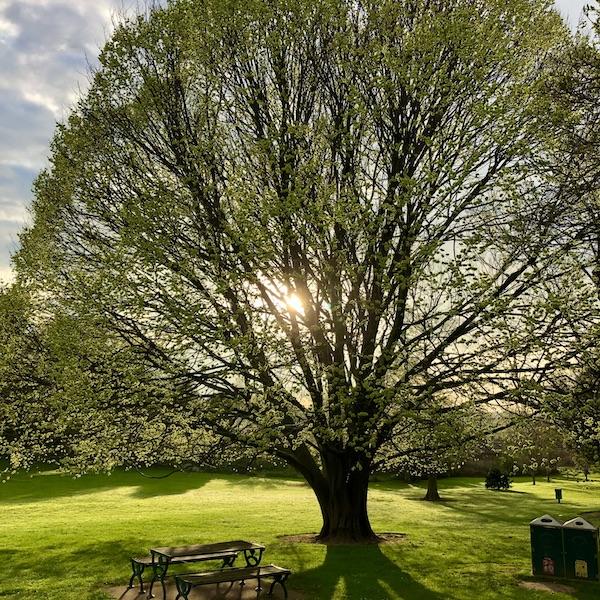 Golden Elm - In Park Spring