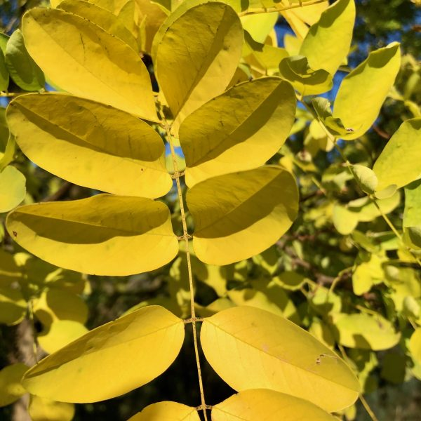 Golden Robinia - Leaf