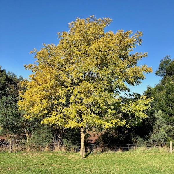 Golden Robinia - Mature on Farm