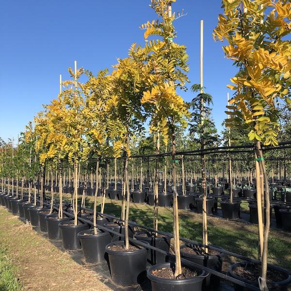 Golden Robinia - Pots