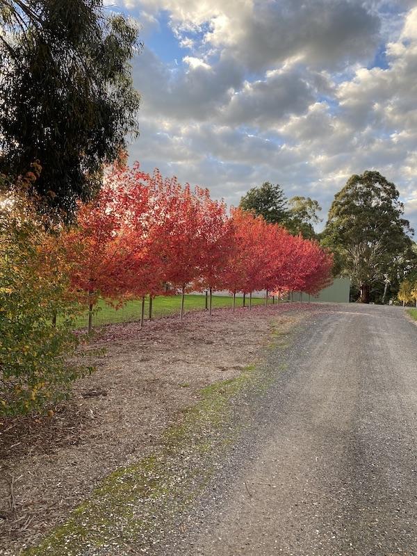 Autumn Blaze - Ripplebrook Winery