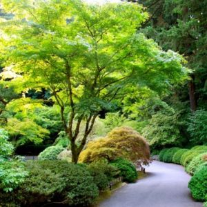Japanese Maple Mature in Garden