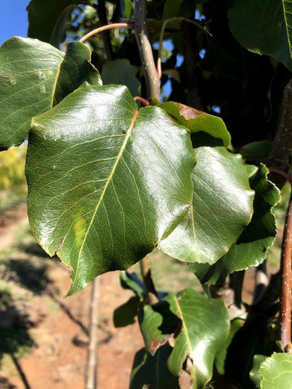 Ornamental Bradford Pear - Pyrus Bradford - Leaf