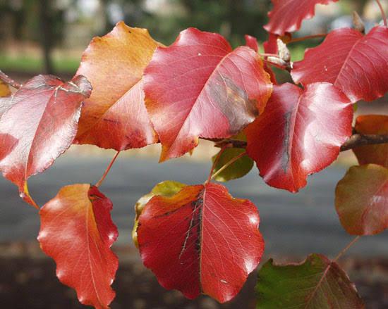 Ornamental Bradford Pear Pyrus Bradford Leaf Autumn
