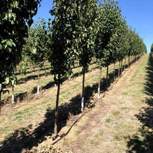 Ornamental Capital Pear - Pyrus Capital - RCB Row