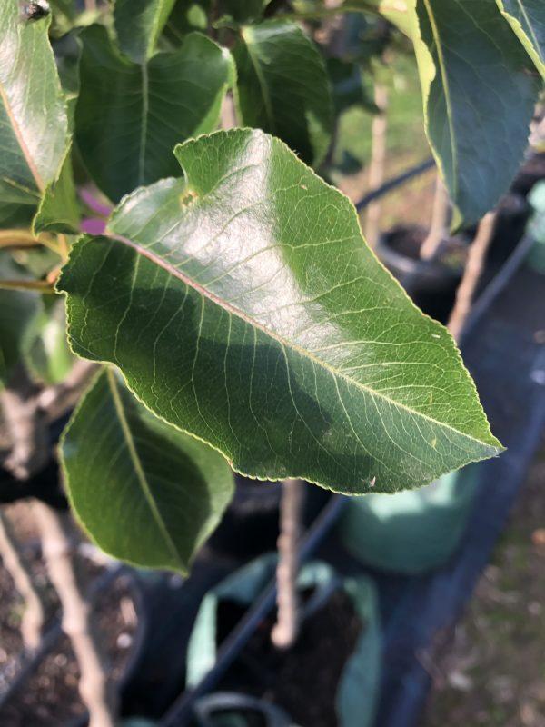 Ornamental Chanticleer Pear - Pyrus calleryana Cleveland Select - Leaf