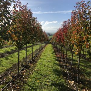 Ornamental Pear Chanticleer - Pyrus Cleveland Select - RCB Row Autumn