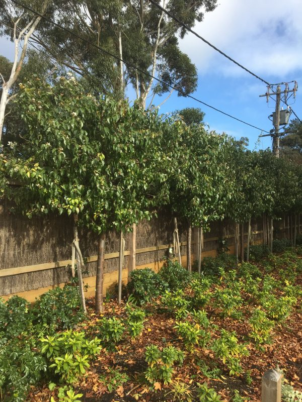 Ornamental Winter Glow Pear – Pyrus calleryana - In garden 2