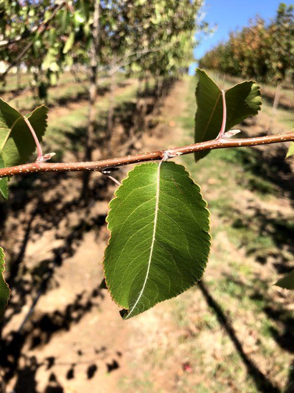 Ornamental Winter Glow Pear – Pyrus calleryana - Leaf
