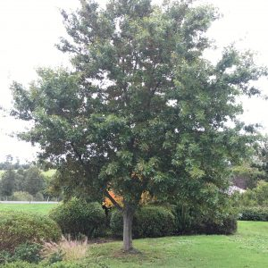 Pin Oak - Quercus palustris EDF - Mature