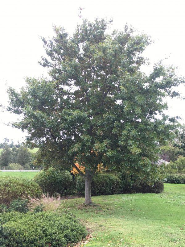 Pin Oak - Quercus palustris EDF - Mature