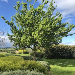 Quercus robus English Oak - Mature in Garden