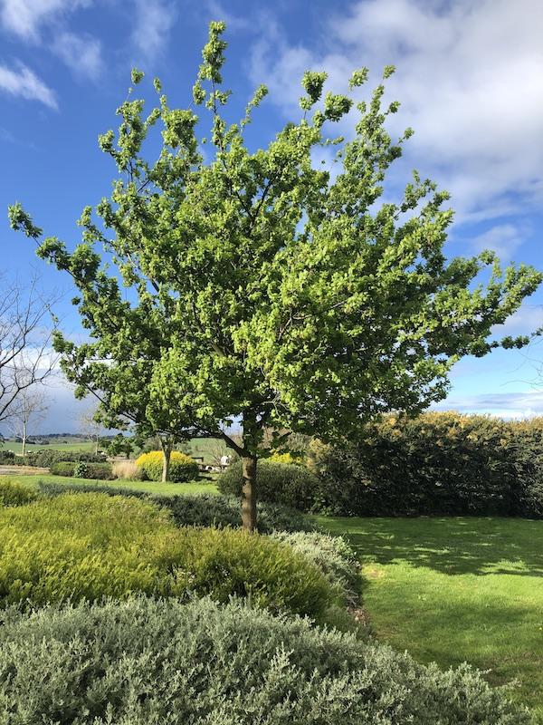 Quercus robus English Oak - Mature in Garden