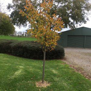 Tilia cordata 'Greenspire' - Planted