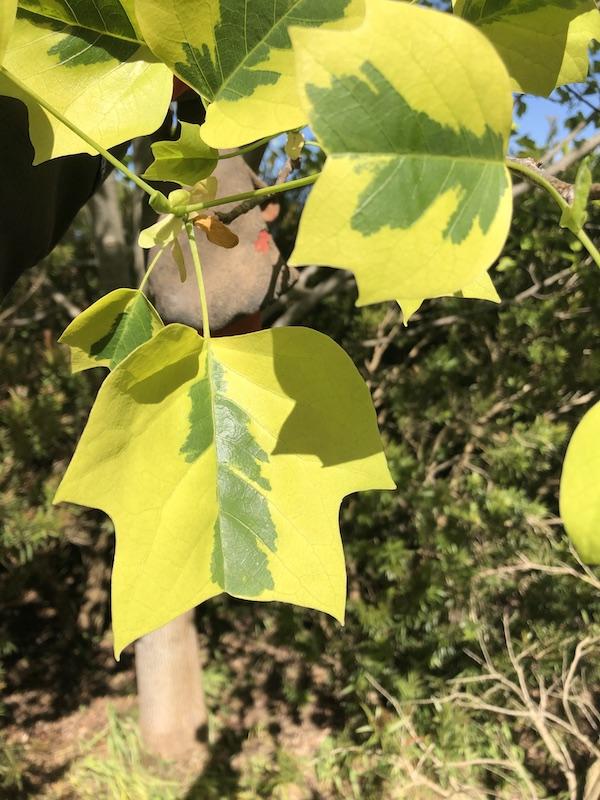 Tulip Tree - variegated - Leaf