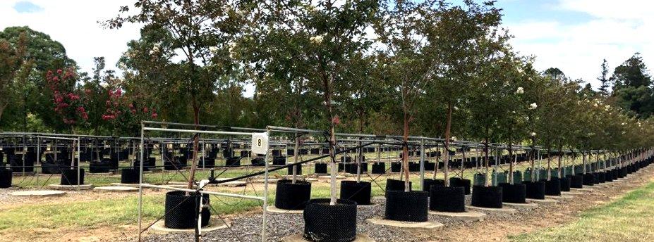 Supplying Advanced Trees to Wholesale & Retail Nurseries across australia