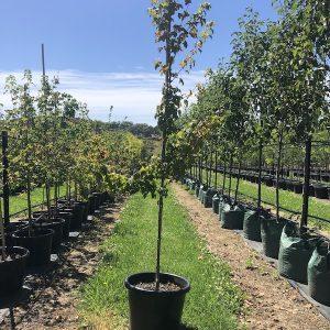 Acer buergerianum Trident Maple - Pot