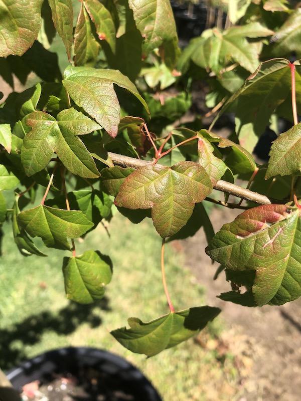 Acer buergerianum Trident Maple - leaf