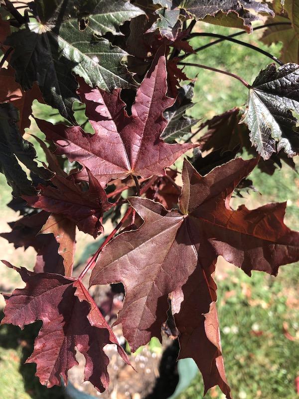 Acer platanoides Crimson Sentry - Leaf
